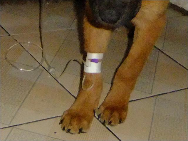 如何给犬只静脉注射-图片11